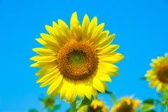 Girassol e abelhas Imagem de Stock Royalty Free