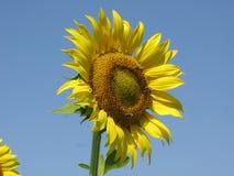 Girassol e abelhas Foto de Stock Royalty Free