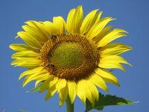 Girassol e abelhas Fotografia de Stock