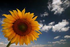 Girassol e céu imagens de stock royalty free
