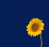 Girassol e céu azul Fotografia de Stock