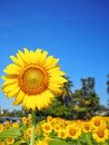Girassol e luz solar foto de stock royalty free