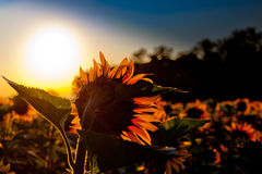 Girassol e nascer do sol Fotos de Stock