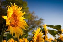 Girassol e nascer do sol Fotos de Stock Royalty Free