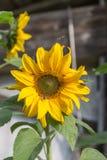 Girassol em Sunny Day Fotos de Stock Royalty Free