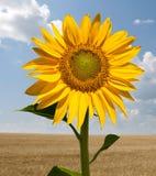 Girassol em um campo de trigo Fotografia de Stock Royalty Free