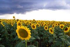 Girassol em um campo e em umas nuvens escuras Feche acima da vista dos girassóis Fotos de Stock