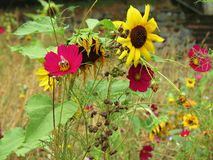 Girassol em um jardim Imagem de Stock