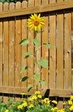 Girassol em um jardim Fotos de Stock Royalty Free