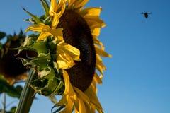 Girassol, fotografado do lado na luz do dia natural em um dia claro do ` s do verão Uma abelha pode ser pairar visto perto da flo fotografia de stock royalty free