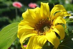 Girassol grande bonito no jardim Imagem de Stock Royalty Free