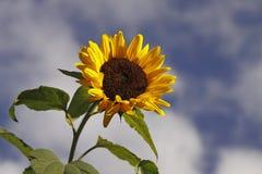 Girassol, helianthus annuus foto de stock royalty free