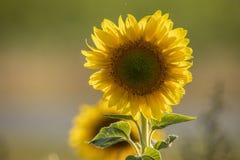 Girassol, helianthus annuus Uma flor do verão fotos de stock royalty free