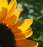 Girassol int o Sun Imagens de Stock Royalty Free