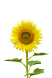 girassol isolado na haste e na folha da flor de white Fotos de Stock Royalty Free