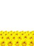 Girassol isolado no fundo branco Imagem de Stock