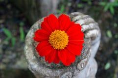 Girassol mexicano Fotografia de Stock