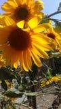 Girassol na cerca imagem de stock royalty free