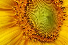 Girassol na flor fotografia de stock