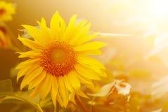 Girassol na luz solar morna Fotos de Stock