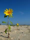 Girassol na praia Fotos de Stock