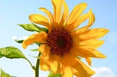 Girassol no céu no verão Imagens de Stock Royalty Free