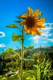 Girassol no céu no verão Imagem de Stock