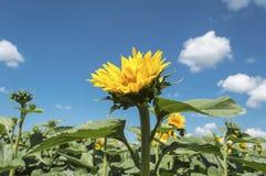 Girassol no campo agrícola cultivado Foto de Stock Royalty Free