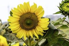 Girassol no jardim Imagens de Stock