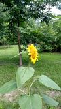 Girassol no jardim Foto de Stock Royalty Free