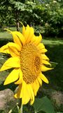 Girassol no jardim Foto de Stock