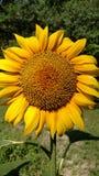 Girassol no jardim Fotos de Stock Royalty Free