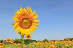 Girassol no jardim durante o dia com fundo do céu azul Imagens de Stock Royalty Free
