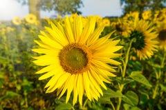 Girassol no sol em um campo Imagens de Stock Royalty Free