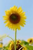 Girassol no verão imagem de stock