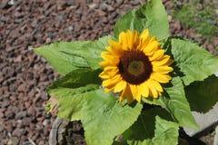 Girassol no verão Imagens de Stock Royalty Free