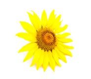 Girassol novo brilhante Foto de Stock Royalty Free