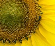 Girassol, pólen e Honey Bee Foto de Stock