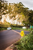 Girassol pelo lado da estrada Foto de Stock