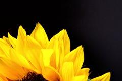 Girassol próximo acima com um fundo preto Foto de Stock Royalty Free