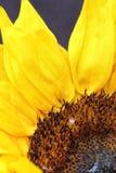Girassol próximo acima com um fundo preto Fotografia de Stock Royalty Free