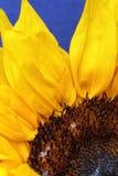 Girassol próximo acima em um fundo azul magnífico brilhante Imagens de Stock