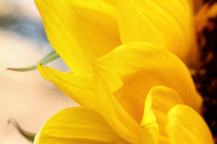 Girassol próximo acima em um fundo claro Foto de Stock Royalty Free