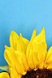 Girassol próximo acima em uma luz - fundo azul Imagem de Stock Royalty Free
