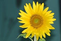 Girassol que floresce sob o sol Fotos de Stock Royalty Free