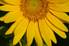 Girassol que floresce sob o sol Imagens de Stock Royalty Free