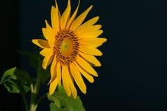 Girassol que floresce sob o sol Foto de Stock