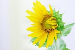 Girassol que floresce sob o sol Imagens de Stock