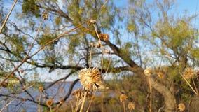 Girassol secado na natureza com lago e céu fotos de stock