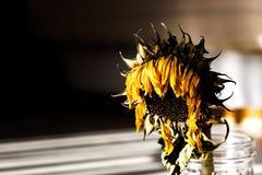 Girassol seco na luz solar e nas sombras Imagem de Stock Royalty Free